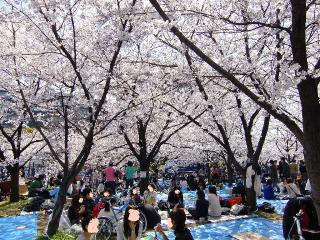 Cherry_blossoms_viewing_party
